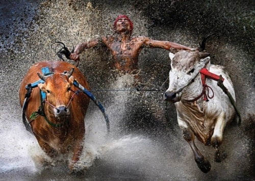 bull race image