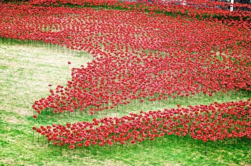 poppies-3